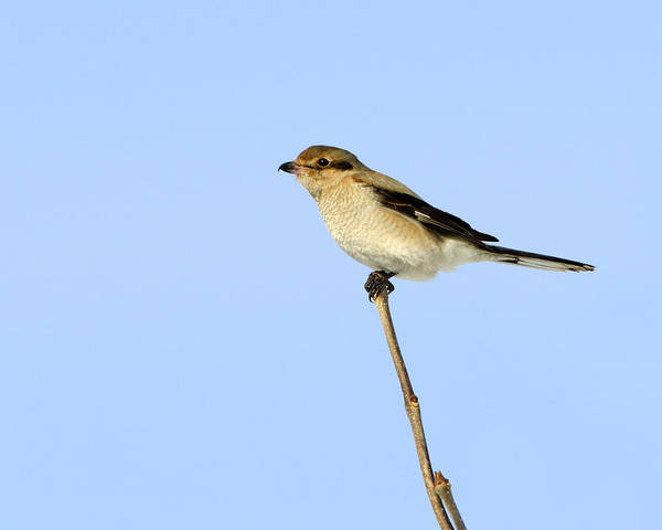 Photograph - Young Northern Shrike by Tony Beck