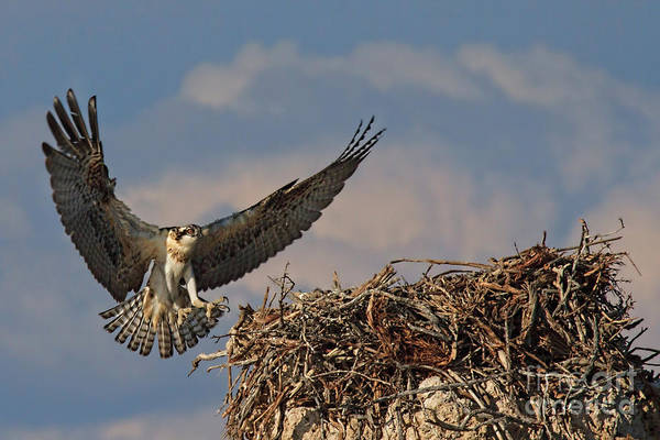 Photograph - Young Osprey by Beth Sargent