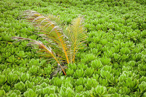Photograph - Young Palm - H1 by Tim Newton