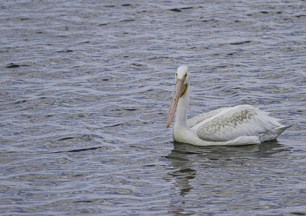 Photograph - Young Pelican by Thomas Young