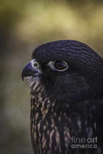 Peregrine Photograph - Young Peregrine Falcon by Mitch Shindelbower