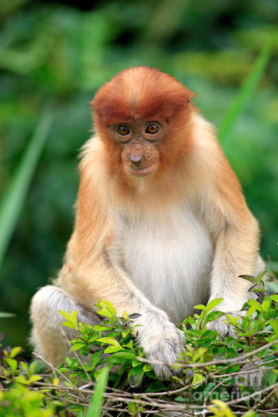 Nasalis Photograph - Young Proboscis Monkey by Sohns/Okapia