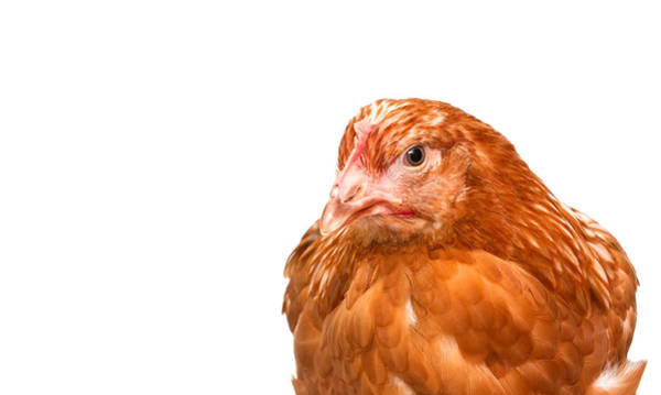 Live Stock Photograph - Young Pullet Looking Ahead At An Angle by Fizzy Image
