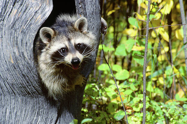 Raccoon Photograph - Young Raccoon Procyon Lotor Looking by Animal Images