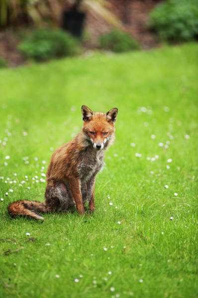 Theme Park Photograph - Young Red Fox In A London Garden by Malcolm Park