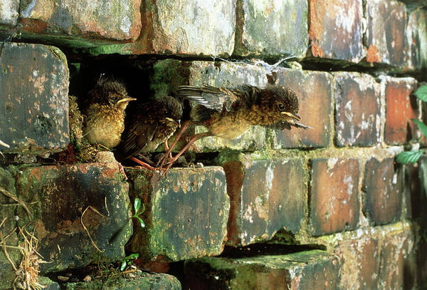 European Robin Photograph - Young Robin Flying by Andy Harmer/science Photo Library