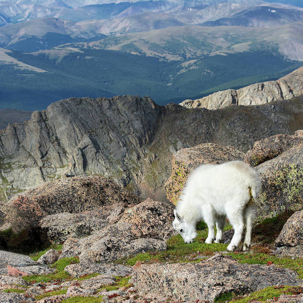 Goat Rocks Wilderness Wall Art - Photograph - Young Rocky Mountain Goat by Ojeffrey Photography