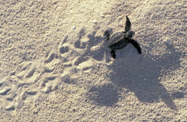 Wall Art - Photograph - Young Sea Turtle by Animal Images