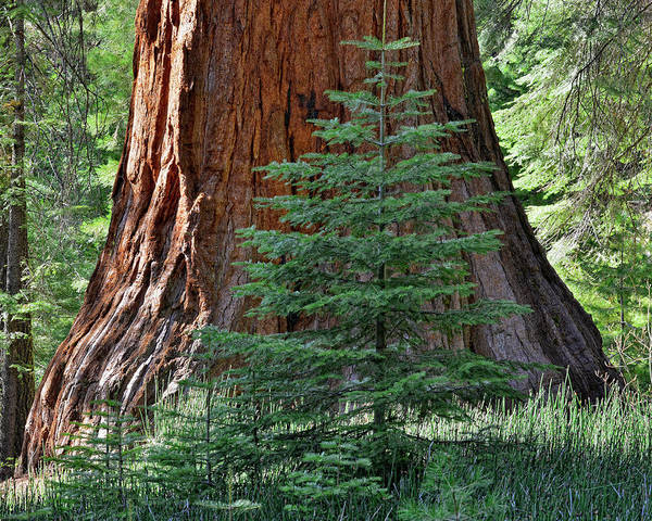 Sequoia Grove Photograph - Young Sequoia Tree At Mariposa Grove by Steven Ng