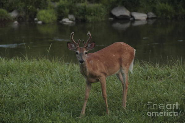 Photograph - Young Six Point Buck by Jim Lepard