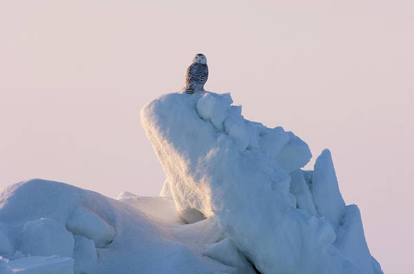 Wall Art - Photograph - Young Snowy Owl On Rough Ice In Arctic by Steven J. Kazlowski / GHG