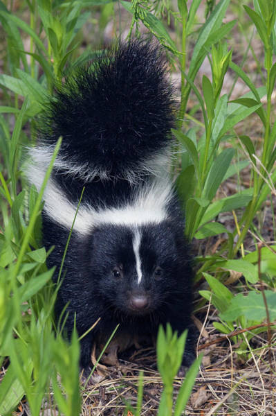 Skunk Photograph - Young Striped Skunk by Ken Archer