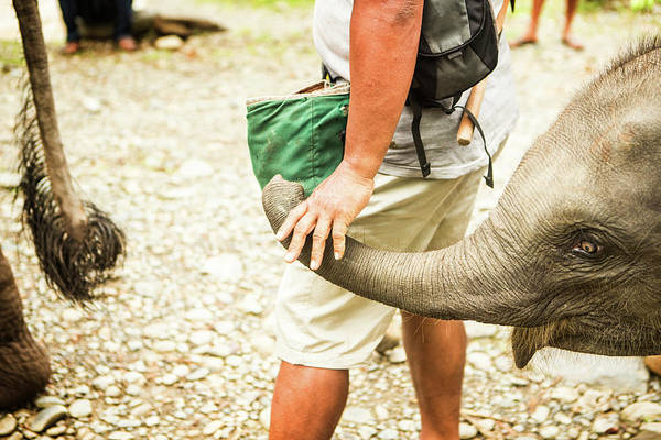 Petting Zoo Photograph - Young Sumatran Elephant Elephas Maximus by Matt Stirn