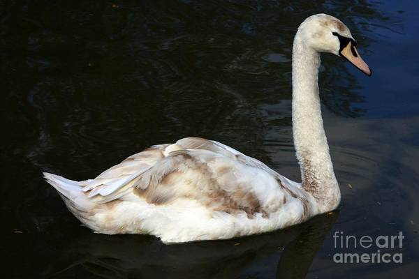 Photograph - Young Swan by Jeremy Hayden