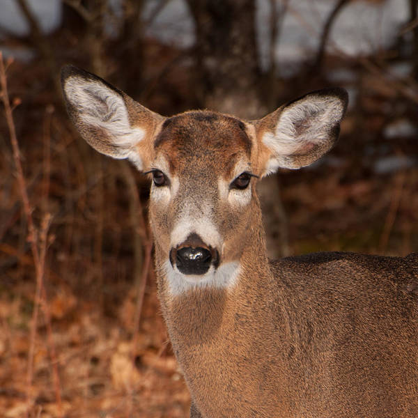 Photograph - Young White Tailed Buck by Brenda Jacobs