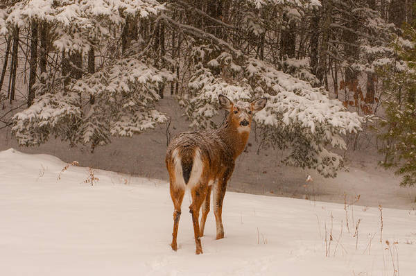 Photograph - Young White Tailed Buck In Winter by Brenda Jacobs