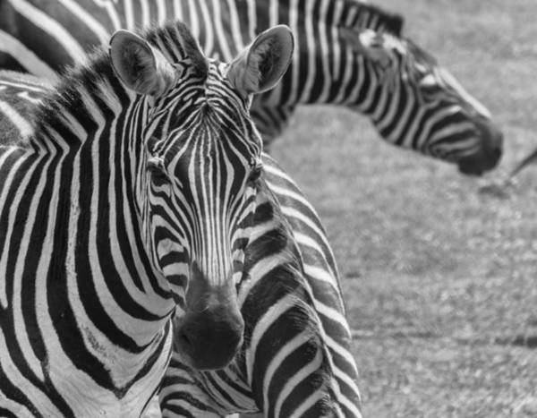 Photograph - Young Zebra by Garvin Hunter