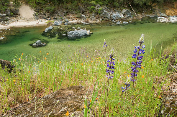 Yuba River Photograph - Yuba River And Wildflowers, Nevada by Josh Miller Photography