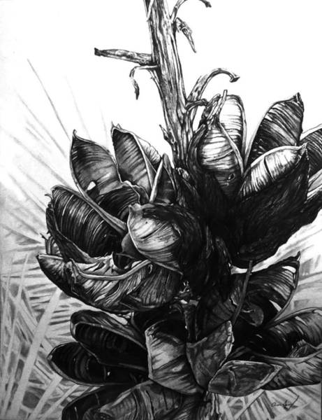 Grass Field Drawing - Yucca by Aaron Spong
