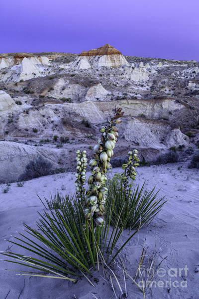 Photograph - Yucca At Twilight by Stuart Gordon