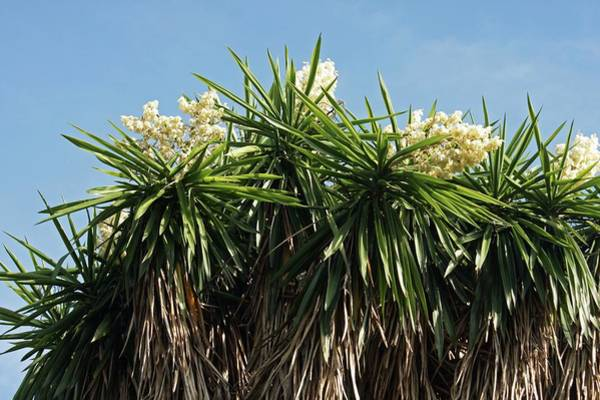 Yucca Palm Photograph - Yucca Australis by Brian Gadsby/science Photo Library