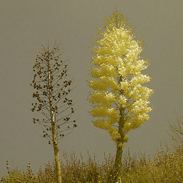 Photograph - Yucca. Double Portrait by Ben and Raisa Gertsberg