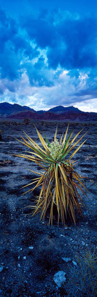 Yucca Plants Photograph - Yucca Flower In Red Rock Canyon by Panoramic Images