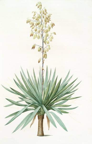 Magical Drawing - Yucca Gloriosa, Yucca A Feuilles Entieres Palm Lily Or by Artokoloro