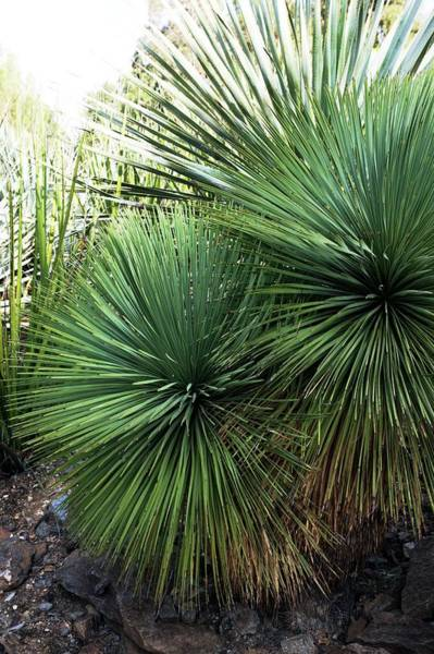 Yucca Palm Photograph - Yucca Linearifolia by Brian Gadsby/science Photo Library