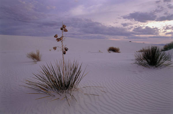 Yucca Plants Photograph - Yucca Plants Growing In The Desert Sand by Tony Craddock/science Photo Library