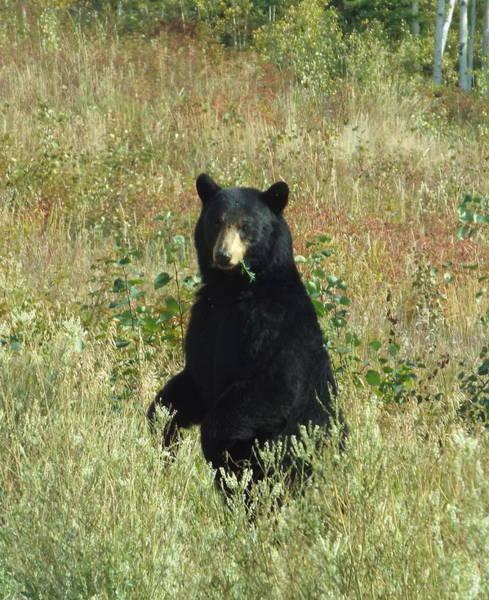 Photograph - Yukon Black Bear by Barbara Von Pagel