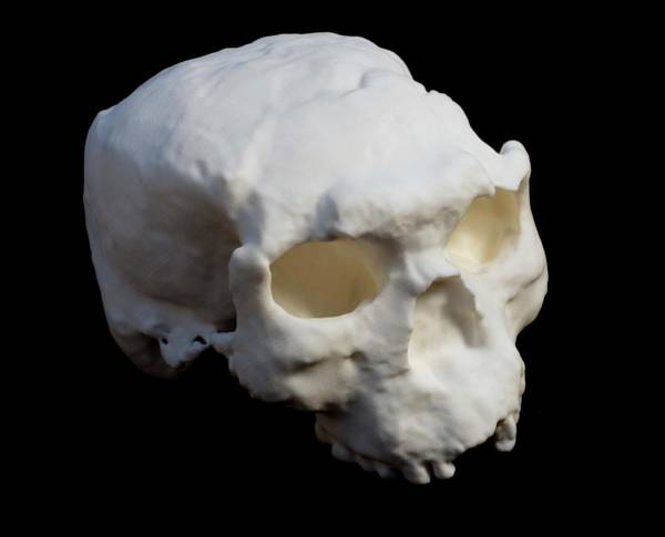 Wall Art - Photograph - Yunxian Man Fossil Skull Cast by Pascal Goetgheluck/science Photo Library