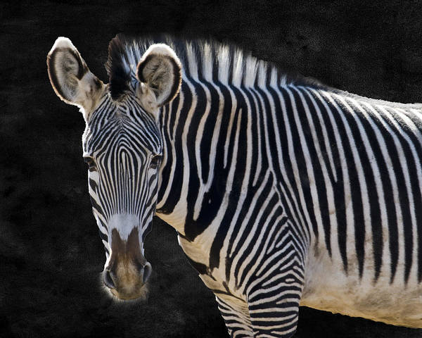 Zebra Pattern Photograph - Z Is For Zebra by Juli Scalzi