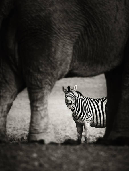 Tooth Photograph - Zebra Barking by Johan Swanepoel