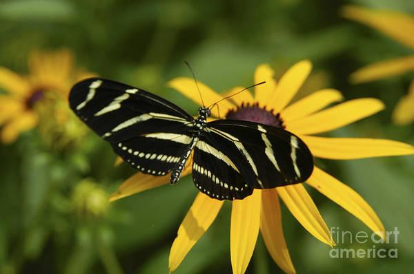 Photograph - Zebra Butterfly by Anthony Sacco