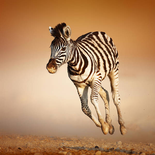Wall Art - Photograph - Zebra Calf Running by Johan Swanepoel