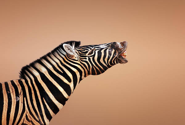 Close-up Photograph - Zebra Calling by Johan Swanepoel