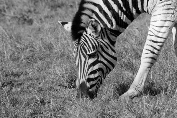 Wall Art - Photograph - Zebra by Chris Whittle
