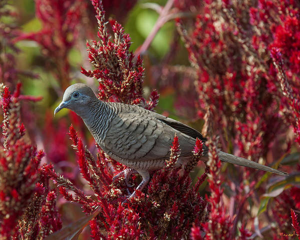 Photograph - Zebra Dove Or Barred Ground Dove Dthn0060 by Gerry Gantt