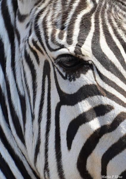 Wall Art - Photograph - Zebra Eye Abstract by Maria Urso