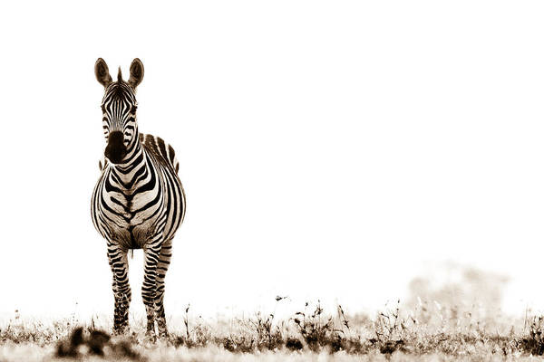 Rhinocerus Photograph - Zebra Facing Forward Washed Out Sky Bw by Mike Gaudaur