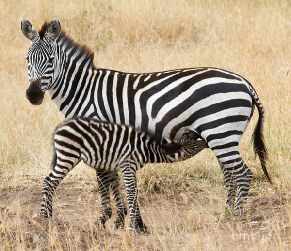 Photograph - Zebra Family by Chris Scroggins