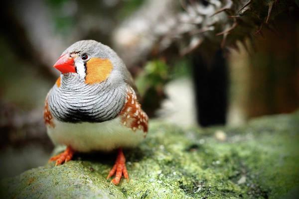 Finch Photograph - Zebra Finch by Annhfhung