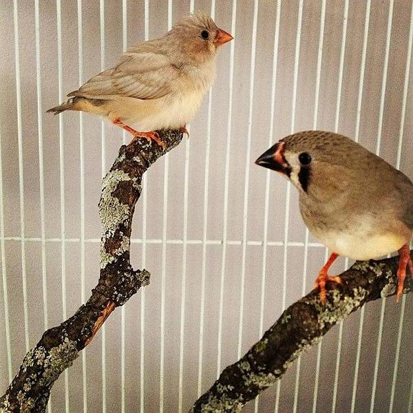 Bird Photograph - Zebra Finches by Christy Beckwith