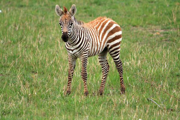 Photograph - Zebra Foal  by Aidan Moran