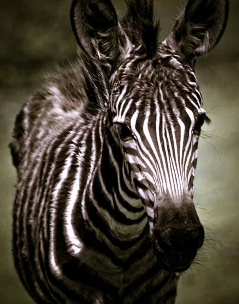 Photograph - Zebra Foal Portrait by Maggy Marsh