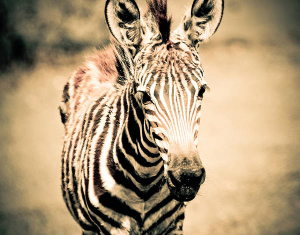 Photograph - Zebra Foal Three Quarter View In Sepia by Maggy Marsh