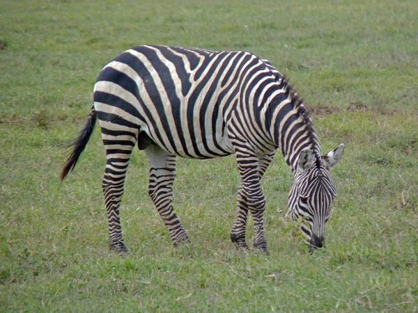 Photograph - Zebra Grazing by Tony Murtagh