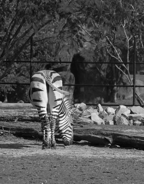 Photograph - Zebra I by Pete Federico