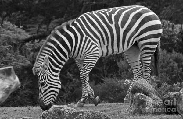 Photograph - Zebra In Black And White by Kate Brown